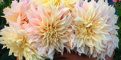 Gorgeous bouquet of dahlia's from Sustainable Blooms our in-house florist.