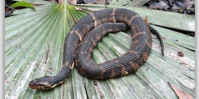 Broad-banded Watersnake