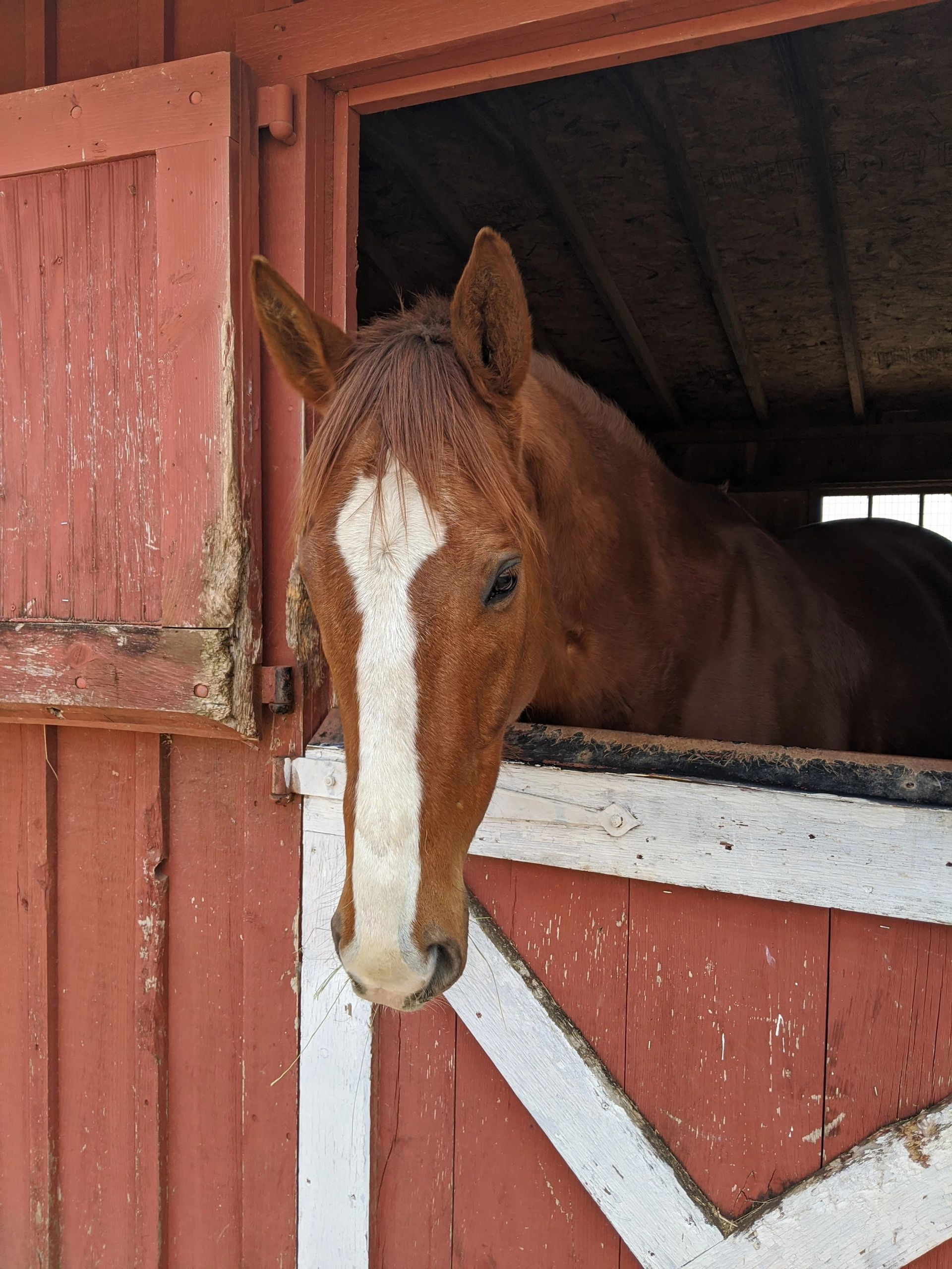 Chestnut gelding with large white blaze in red barn stall