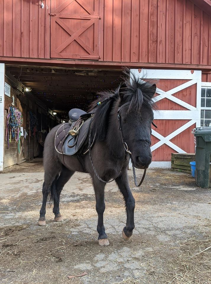 Black Shetland Pony in English tack standing in front of red barn