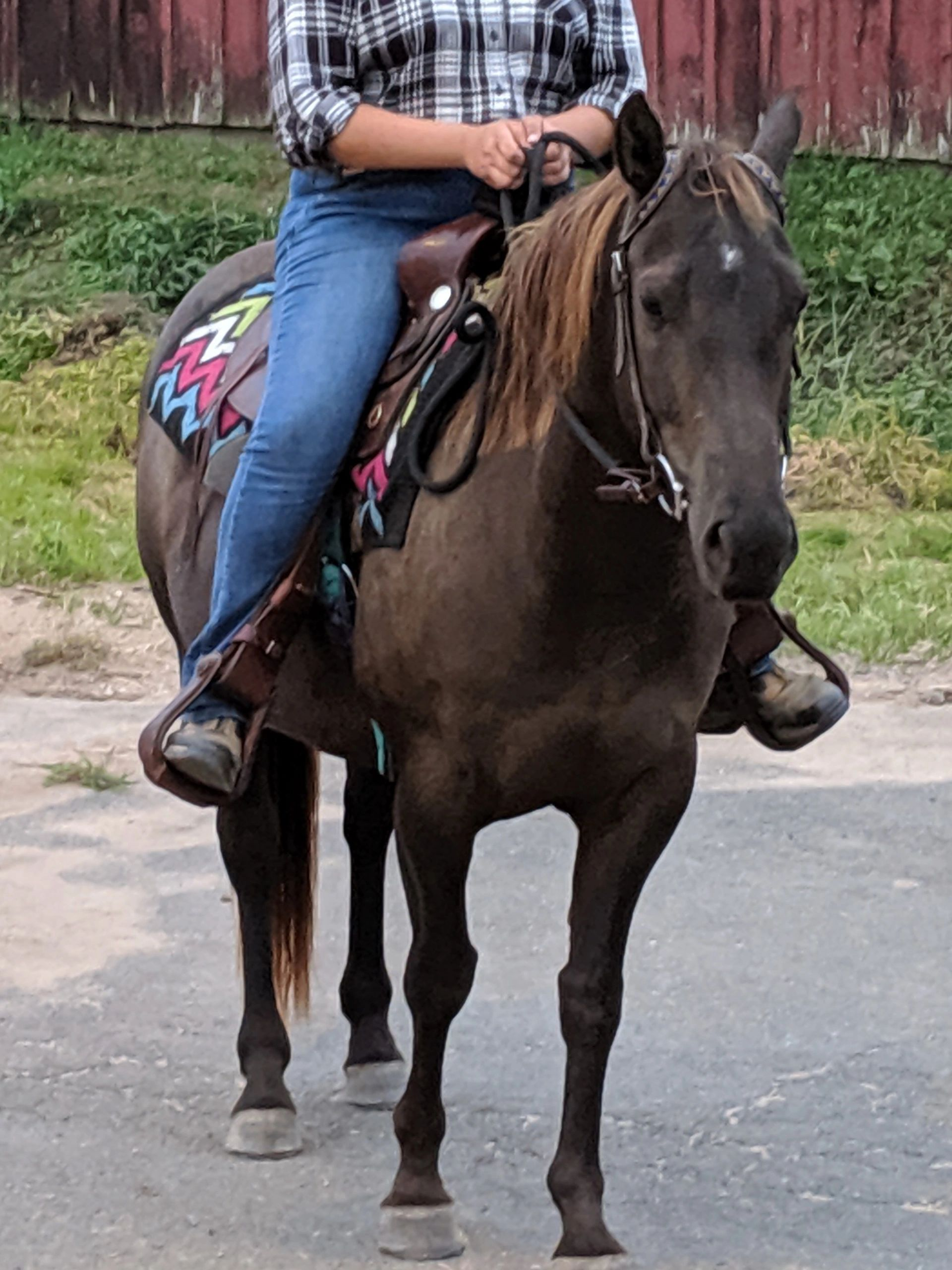 liver bay reining stock quarter horse with rider