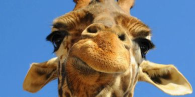 A close up shot of a giraffe's face