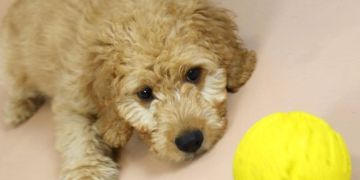 Advice available prior to purchasing your puppy. We'll analyse your lifestyle and help you to match