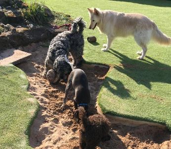 Home Boarders, Otto and Yeti, enjoying a dig, with my Cooper, in one of our sandpits.