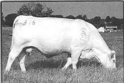 WCR Miss Tradition 316  F666346 02/08/1993  Polled Sire: WCR Sir Tradition   M318119 Dam: WCR Miss D