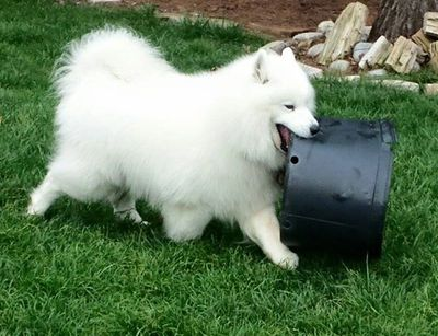 Samoyed Rescue of Texas is a volunteer non-profit organization.