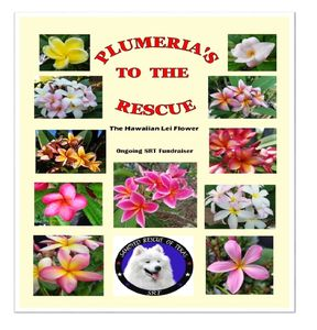 Your purchase of a lovely plumeria helps rescue, rehab, and re-home a Samoyed!