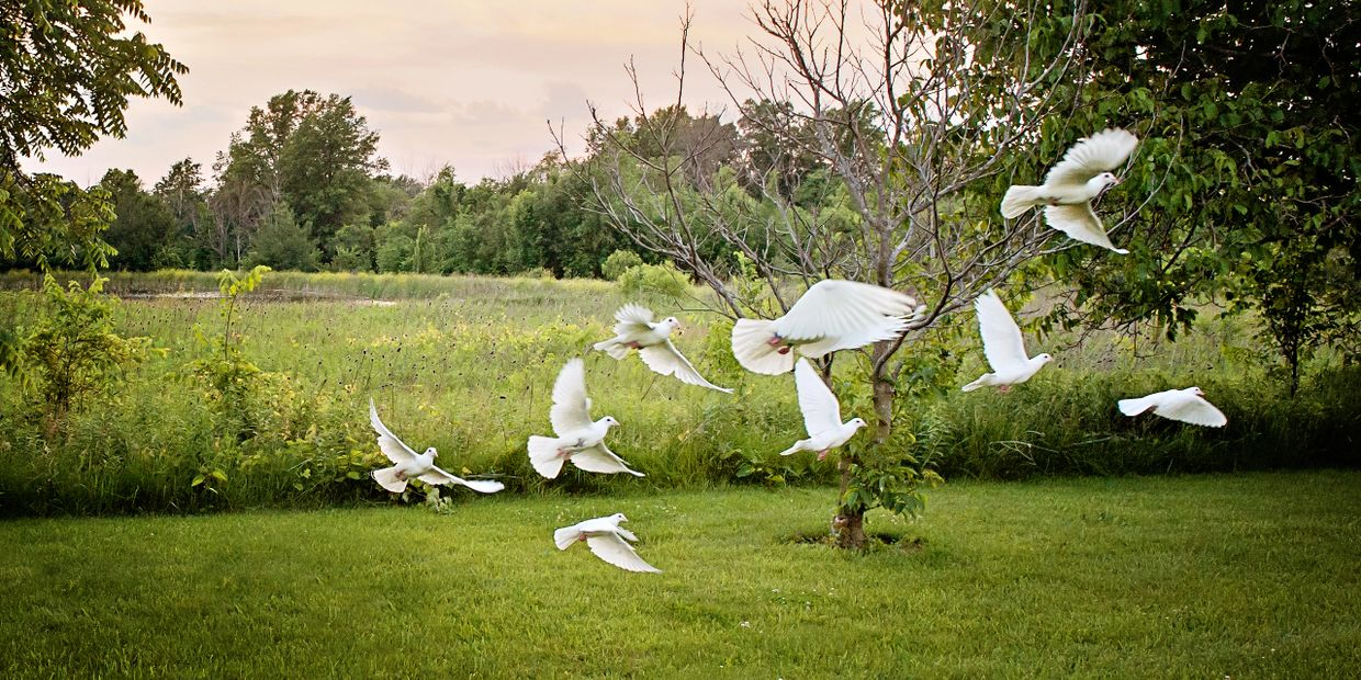Boyd's Nest White Doves is an extension of a family hobby and business that originated in 1959. Our
