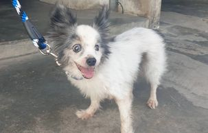 Small dog found in Bercham Ipoh Malaysia