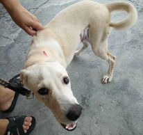 Friendly and gentle healthy female dog for adoption ipoh perak malaysia