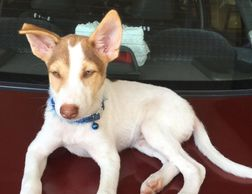 beauiful 4 months old puppy for adoption ipoh perak malaysia