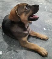 3 months old male pupy for adoption ipoh perak malaysia