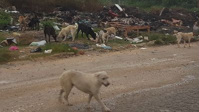 Stray dogs dumped by MBI at the Papan dump site in Ipoh