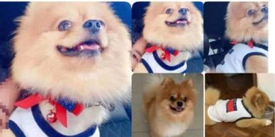 pomeranian dog lost around immigration ipoh malaysia