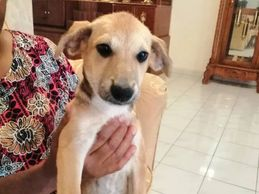 4 months old female puppy for adoption ipoh perak malaysia