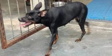 very small female pinscher for adoption ipoh perak malaysia
