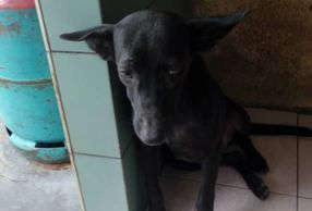 All black 6 months old female puppy for adoption ipoh perak malaysia