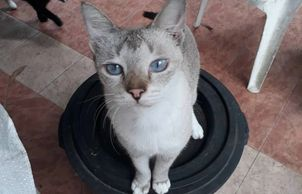 healthy male cat for adoption ipoh perak mlaysia neutered and vaccinated