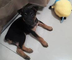 Two months old female puppy for adoption ipoh perak malaysia