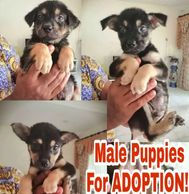 male puppies for adoption ipoh perak malaysia