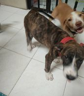 two female puppies for adoption Ipoh