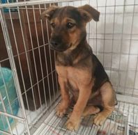 3 months female puppy for adoption ipoh