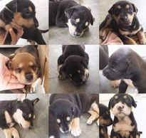 3 week old puppies for adoption or fostering ipoh perak malaysia