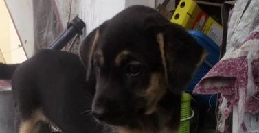 2 months old female puppy for adoption ipoh malaysia