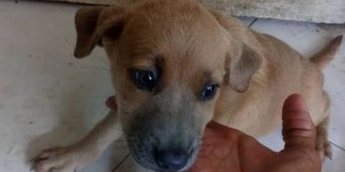 Two months old puppy for adoption ipoh malaysia