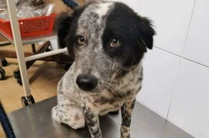 gentle healthy 6 months old neutered puppy for adoption ipoh perak malaysia