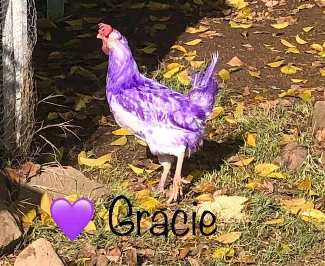 Gracie the purple chicken  is standing outside her chicken coop with a purple heart underneath her.