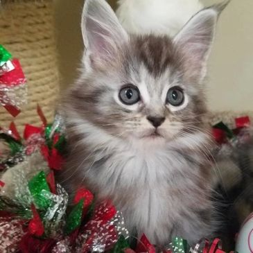 Available Kittens | Majestic Luv Cattery