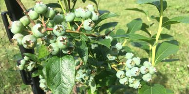 Blueberries growing at the farm.