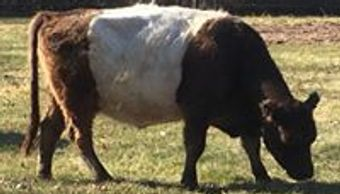 Our oldest Dun Belted Galloway Cow, X-Umi.