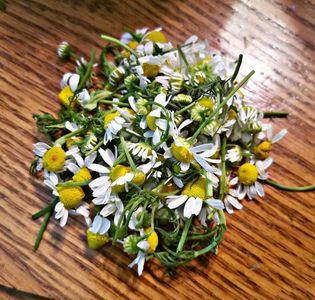 There's nothing quite like a cup of chamomile, & using fresh flowers makes a delightful difference!