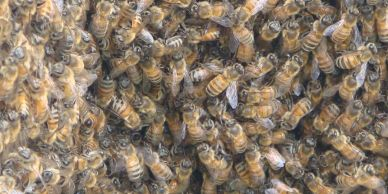 Mass of bees from swarm