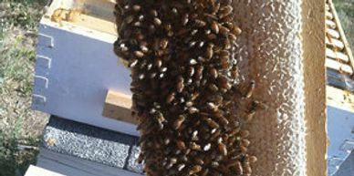 Honey and Honeybees on comb