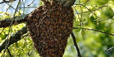 Swarm on tree branch
