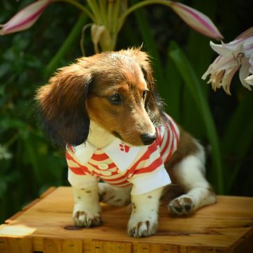 Chabela's Doxies - Home