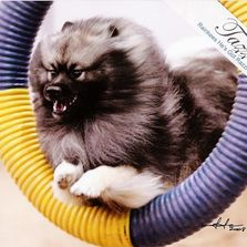 Keeshond dog jumping through tire jump