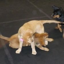 Two puppies wrestling
