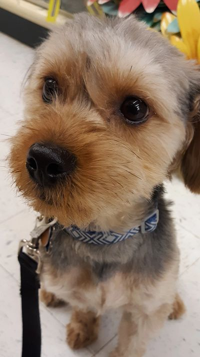 Good Start Puppy Camp ages 4  to 8 months training Morkie Breed
