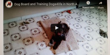 Puppy board and training, potty training, nipping and jumping. Training puppy golden doodle