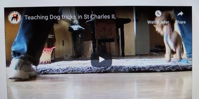 Puppy Boot Camp Training, house training, teaching puppy tricks. Chinese crested dog