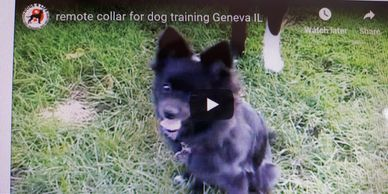 Happy Dog with Remote Collar Training