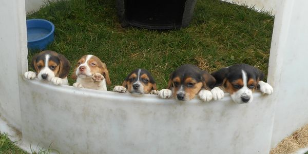 Beagle Puppies waiting for their new families.