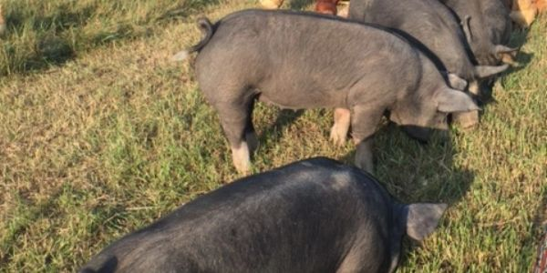 Berkshire heritage breed pasture raise don't pigs