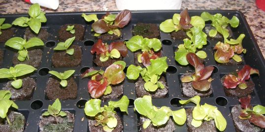 Some of our early lettuce seedlings