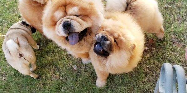 "<a href=""http://www.breederconnect.com/united-states/tulsa/chow-chow/4showpaws-com?from=badge""title="