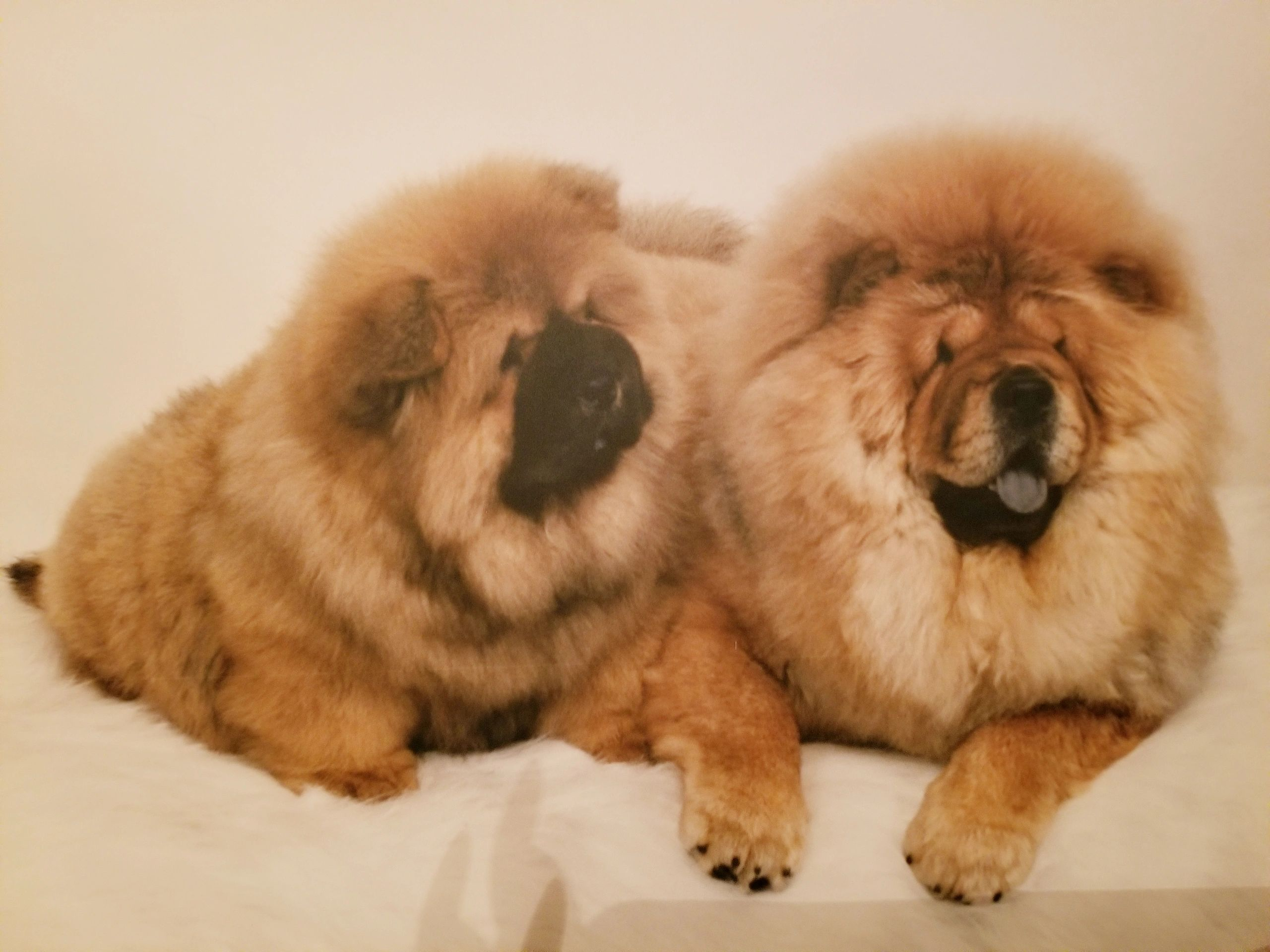 Beautiful Chow Chows